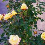 """Yellow roses in Beaverton, Oregon"" by serenethos"
