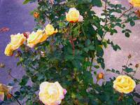 Yellow roses in Beaverton, Oregon