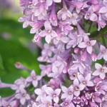 """""""Purple Lilac flowers up close"""" by serenethos"""