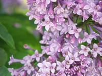Purple Lilac flowers up close
