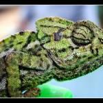 """Chameleon"" by MacDavid"