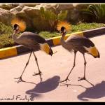 """Grey Crowned Crane"" by Mohamed-Fadly"