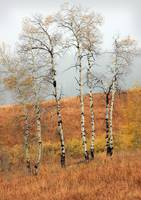 Late Autumn Aspens