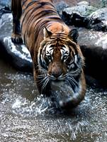 Tiger of Calderpark Zoo Glasgow
