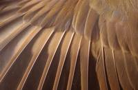 sparrow wing feathers