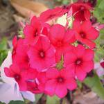 """Red Phlox"" by Kirby"