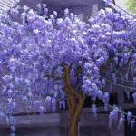"""Ashford Manor Wisteria in Watkinsville, Georgia"" by Tim"