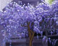 Ashford Manor Wisteria in Watkinsville, Georgia