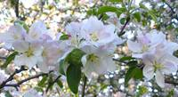 apple blossom 1