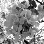 """apple blossoms 2"" by Lisajoy"