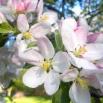 """apple blossoms 4"" by Lisajoy"