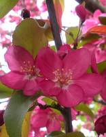 Pink Blossoms 1