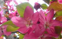 Pink Blossoms 2
