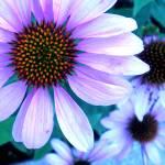 """""""shasta daisy"""" by Lisajoy"""