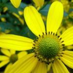 """yellow susan"" by Lisajoy"