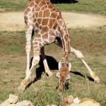 """Giraffe"" by pamelask"