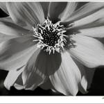 """Dahlia in B&W"" by JAS_Photo"