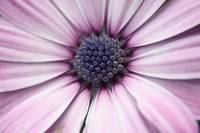 Purple Daisy 2