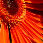 """Red Gerbera2"" by csquared"