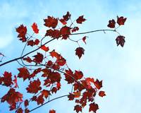 Red Leaves Blue SkyRed Leaves Blue Sky