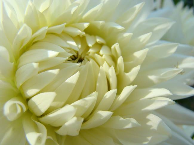 Dahlia Flowers And Gifts White Dahlia Flowers ""