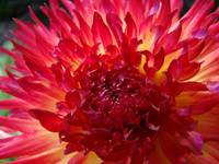 CHRISTMAS GIFT GALLERY Red Purple Dahlia Flower