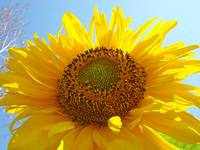 Christmas Gift Gallery SUNFLOWER Artwork