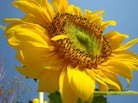 Christmas Gift Gallery SUNFLOWERS Art