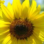 """Christmas Gift Gallery Sun Flower Art Gifts"" by BasleeTroutman"