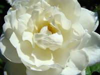 Christmas Gift Gallery White Rose Art Baslee