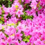 """Christmas Gift Gallery PINK AZALEAS Art Gifts"" by BasleeTroutman"