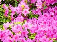 Christmas Gift Gallery PINK AZALEAS Art Gifts