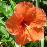 """""""Tropical Red Hibiscus Flower in Florida"""" by serenethos"""
