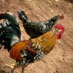 """""""Hawaiian Roosters"""" by lisad"""