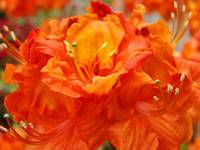Christmas Gift Gallery Orange RHODIES Art Gifts