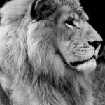 """Lion in black and white"" by csquared"