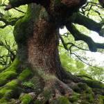"""Old Tree in Kyoto"" by Groecar"