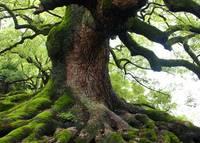Old Tree in Kyoto by Carol Groenen