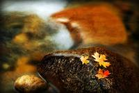 maple leaves on a rock current rush by