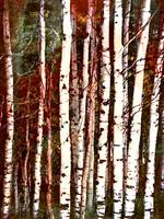 Aspen trees and boccacino texture
