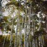 """Aspen Trees reacy for the sky hue texture"" by houstonryan"