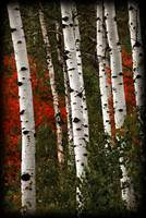 Aspens near sundance colors