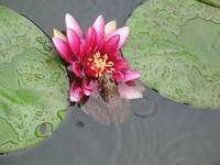 Water Lily & Frog
