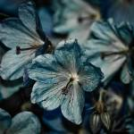 """Little Blue Flowers"" by JAS_Photo"