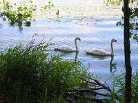Swans_at_Rockland_Lake_by_GenTsoChiken