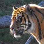 """""""Sumatra Tiger"""" by CharlesHarlan"""