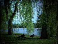 Willows and geese