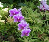 Purple Orchids in fern
