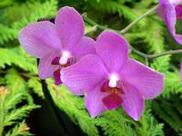 Two purple orchids in fern