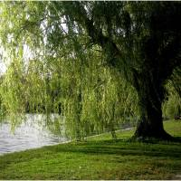 """Weeping Willow 2009"" by micspics444"